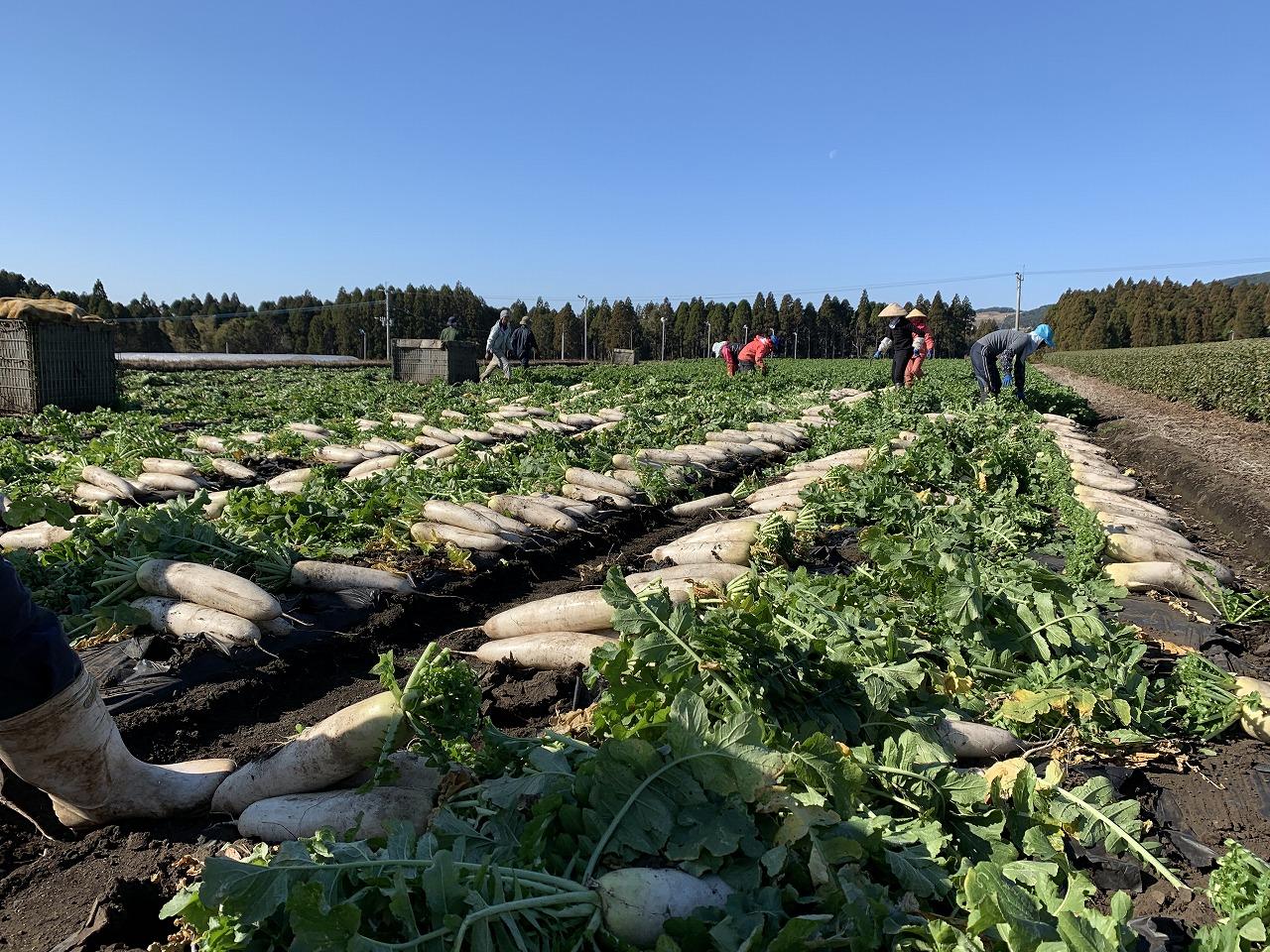 大根の収穫作業